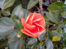 Ketmie - bourgeon floral Photographie stock libre de droits