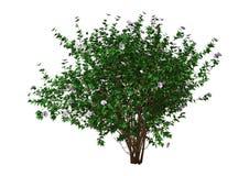 ketmie Bush du rendu 3D avec des fleurs sur le blanc Image stock