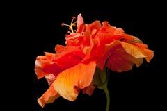 ketmie de fleur Image stock