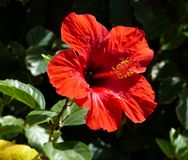 Ketmie en fleur dans un jardin d'hôtel Photographie stock libre de droits