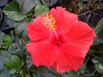 Ketmie - fleur Image libre de droits