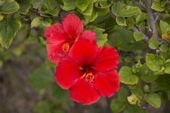 Ketmie fleurie rouge Photo libre de droits