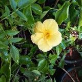 Ketmie jaune images stock