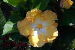 Ketmie jaune Photos libres de droits