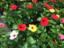 Ketmie : La variété de grandes belles fleurs colorées Images libres de droits