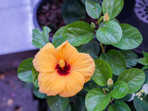 Ketmie orange Photos libres de droits