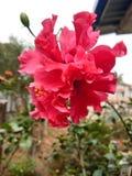 Ketmie ou fleur de rosemallow belle photographie stock libre de droits