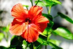 Ketmie ou Rose rouge de fleur de Sharon fleurissant sous la lumière du soleil image stock
