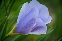 Ketmie pourpre de wildflower indigène d'Australie occidentale macro Photographie stock libre de droits