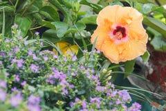 Ketmie rosa-sinensis images libres de droits