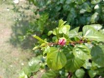 Ketmie rosa-sinensis photo libre de droits