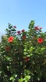Ketmie rosa-sinensis Image libre de droits