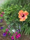 Ketmie rosa-sinensis de fleur Image libre de droits