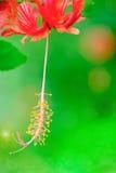 Ketmie rosa-sinensis de stamens de ketmie et grai jaune de pollen Images libres de droits