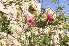 Ketmie rosa-sinensis ou ketmie de chinesse photos stock