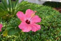 Ketmie rose contre l'arbuste Photographie stock