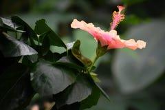 Ketmie rose fleurissant avec le feuillage images stock