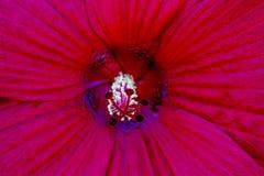 Ketmie rouge Images libres de droits