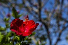 Ketmie rouge contre le ciel bleu Photo stock