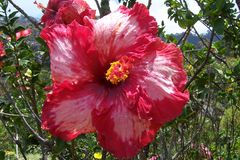 Ketmie rouge et rose Photo stock