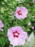Ketmie violette Photographie stock