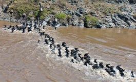 Kette von Wildebeest den Fluss Mara kreuzend stockbild