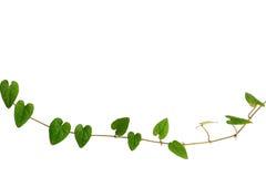 Ketting van hart-vormige groene bladwijnstok, Raphistemma-hooperianum ( Stock Afbeeldingen