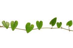 Ketting van hart-vormige groene bladwijnstok, Raphistemma-hooperianum ( Stock Foto's