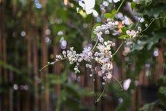 Ketting van Liefdebloem, Witte Mexicaanse koraalwijnstok, Verbonden wijnstok; , Koraalwijnstok, Mexicaanse klimplant Stock Afbeelding
