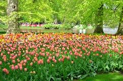 Keukenhof庭院,荷兰 五颜六色的花和开花在荷兰春天庭院Keukenhof里 免版税库存照片