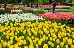 Keukenhof庭院,荷兰 五颜六色的花和开花在荷兰春天庭院Keukenhof里 免版税库存图片