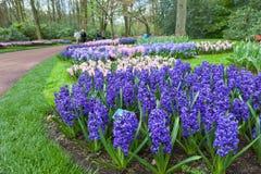 KEUKENHOF庭院,荷兰- 4月08 :Keukenhof是有7百万装饰灯泡的世界的最大的花园在区域  图库摄影