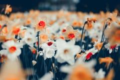 美丽的黄水仙 开花的花在著名Keukenhof公园 库存图片