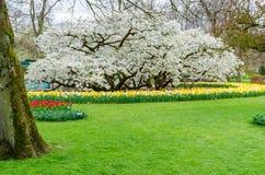 黄色水仙和开花在Keukenhof春天从荷兰从事园艺 库存照片