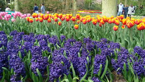 Keukenhof Amsterdam park Obrazy Stock