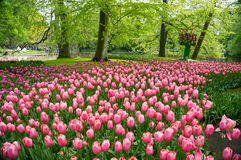 Keukenhof. Beautiful field of pink tulips at the Keukenhof Gardens near Lisse, The Netherlands stock photo