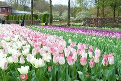 Keukenhof blommaträdgård, Nederländerna Arkivfoto