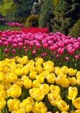 Keukenhof flower garden in Lisse, Netherlands. Tulips in Keukenhof flower garden in Lisse, Netherlands Royalty Free Stock Photo