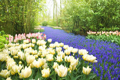 Keukenhof Garden. Flowers bed Tulips and Muscari in the , at springtime Stock Photography