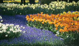 Keukenhof Garden Detail. Grape hyacinth, daffodils and tulips bloom in colourful patterns at Keukenhof Gardens in Lisse, The Netherlands Stock Photos