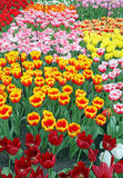 Keukenhof - Garden of Europe, Netherlands Stock Image