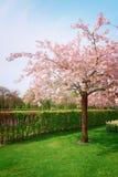 Keukenhof garden, Netherlands. Blooming cherry tree in Keukenhof garden in sunny day, Netherlands, retro toned Royalty Free Stock Images