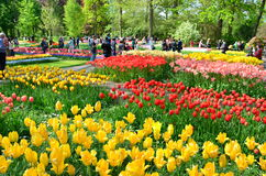 Keukenhof garden, Netherlands. Colorful flowers and blossom in dutch spring garden Keukenhof. Stock Photo