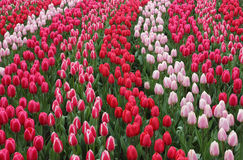 Keukenhof garden red tulips. Keukenhof gardens natural park waves of red tulips Royalty Free Stock Image