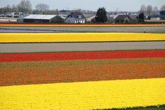 Free Keukenhof Gardens. Tulips Macro Photo Royalty Free Stock Images - 117364769