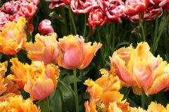 Keukenhof gardens. Tulips macro photo stock photography