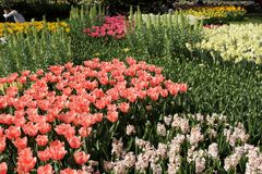 Keukenhof gardens. Tulips macro photo royalty free stock images