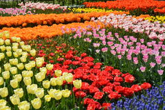 Keukenhof 2016 - Holland Stock Photography