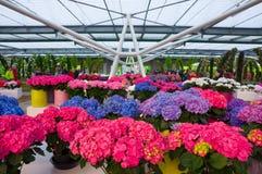 KEUKENHOF HOLLAND - MAI 2014: De roze en purpere bloemen van Hydrangea hortensiahortensia in potten Stock Fotografie