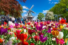 Keukenhof, The Netherlands - May, 2018: Blooming colorful tulips flowerbed in public flower garden Keukenhof with windmill. Popular tourist site. Lisse stock images